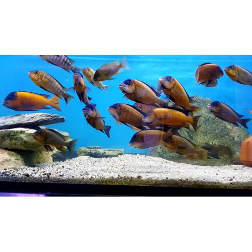 Petrochromis red bulu point